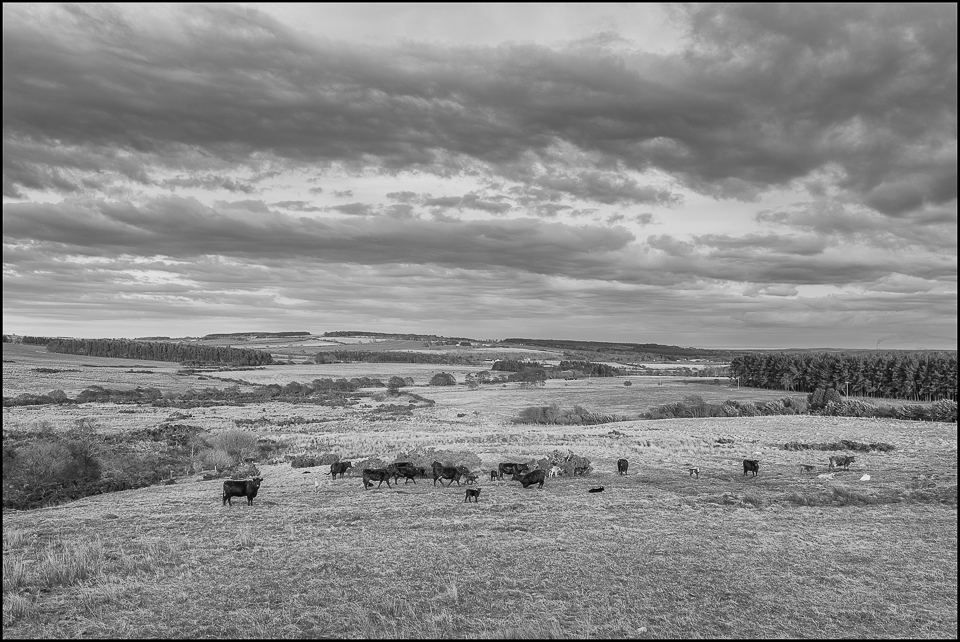 black and white photograph of cattle grazing in the spring in Northumberland UK